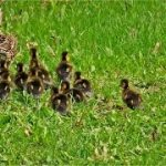 Nonpartisan Gridlock: Baby Ducklings stop D.C. Traffic
